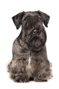 A Cesky Terrier with wonderful pointed ears and a long fringe