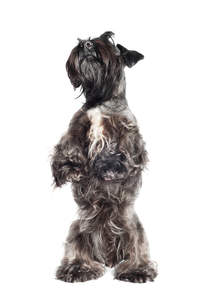 A young Cesky Terrier standing on it's backlegs wanting some attention