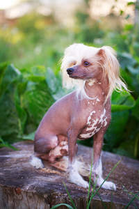 An adult Chinese Crested with a hairless body and well groomed head and feet
