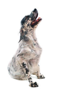 A young adult English Setter with an interesting black and white coat