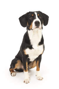 A Entlebucher Mountain Dog sitting patiently waiting for some attention