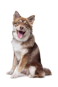 A brown and white Finnish Lapphund sitting patiently, waiting for a command