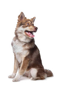 A healthy adult Finnish Lapphund with beautiful tall pointed ears