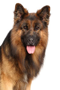 A lovely long coated German Shepherd with beatiful tall ears