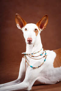 A pretty Ibizan Hound with lovely big ears and a pointed head