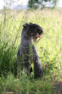 A healthy adult Kerry Blue Terrier sitting in the long grass