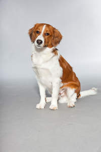 A Kooikerhondje sitting very neatly, waiting for its next command