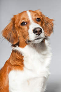 A close up of a Kooikerhondje's incredibly stern face