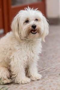 A beautiful, little Maltese with a lovely, soft, white coat