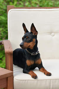A cute Miniature Pinscher with his ears pricked