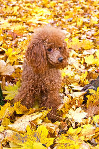A little Miniature Poodle sitting amogst the leaves, waiting for a command