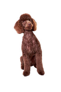 A lovely little chocolate brown Miniature Poodle sitting very attentively