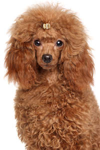 The wonderful, thick, red coat of a Miniature Poodle