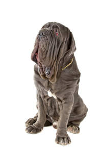 An adult Neapolitan Mastiff with it's wonderful wrinkled face