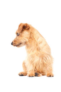 A beautiful little Norfolk Terrier with a healthy, thick, wiry coat
