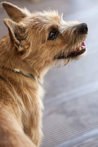 A close up of a Norwich Terrier's incredible thick, wiry coat