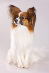A cute little Papillon with foxy ears