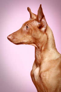 A beautiful profile of a healthy, adult Pharaoh Hound