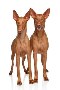 Two healthy, young Pharaoh Hounds waiting patiently for some attention