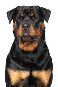 A stern adult male Rottweiler awaiting commands from its owner