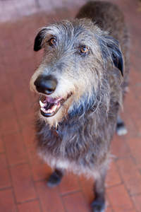 A close up of a Scottish Deerhound's wonderful, wiry coat