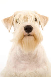 A lovely little Sealyham Terrier, showing off its beautiful blonde fringe and beard