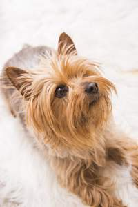 A close up of a Silky Terrier's beautifully little beard and pointed ears