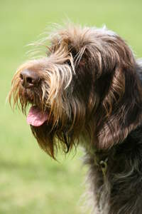 A close up of a Spinone Italiano's incredible scruffy beard