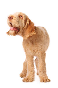 A healthy, young adult Spinone Italiano looking for some deserved attention