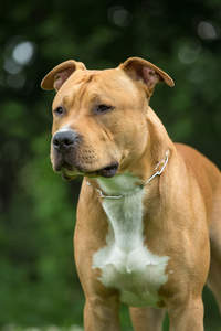 A close up of a Staffordshire Bull Terrier's beautiful stern face