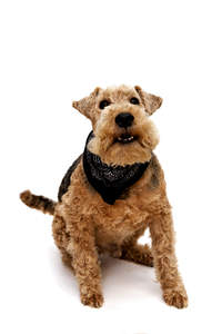 A wonderful little Wire Fox Terrier, ready to play with it's owner