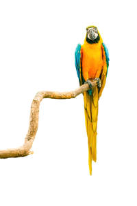 A Blue and Yellow Macaw's beautiful, long tail feathers