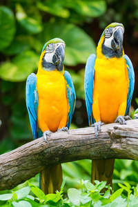 Two Blue and Yellow Macaws perched on a branch