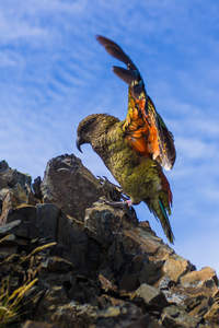A Kea's incredible feather colours underneath it's wings