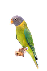 A Plum Headed Parakeet's beautiful purple head feathers and yellow chest