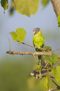 A Plum Headed Parakeet's lovely, green and yellow chest feathers