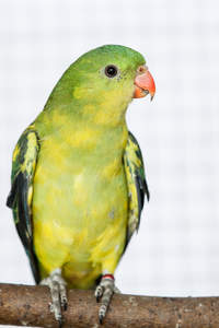 A Regent Parrot's beautiful, little, orange beak