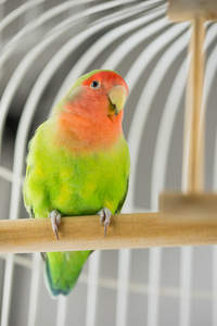 A wonderful, little Rosy Faced Lovebird perched in a cage