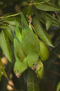 Two Vernal Hanging Parrots feeding, hanging from a branch