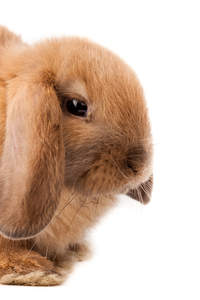 A close up of a Mini Lop rabbits beautiful short nose