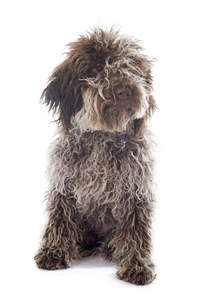 A cute Lagotto Romagnolo puppy with a cute nose and shaggy coat