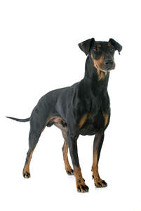 A male adult Manchester Terrier standing tall, showing off it's muscular body