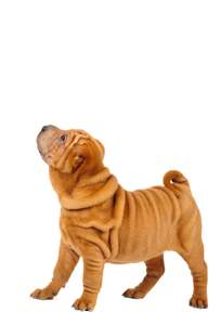 A young and wrinkly Chinese Shar Pei puppy, showing off it's soft coat
