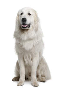 A Pyrenean Mountain Dog with a thick, soft, white coat, panting