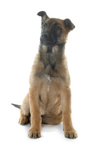 A young cheeky Belgian Shepherd Dog (Malinois) sitting down