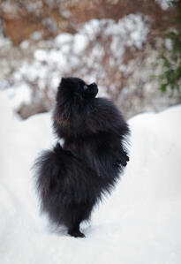 A lovely, little, black Pomeranian, exercising it's back legs in the snow