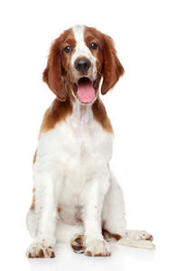 A healthy, young Welsh Springer Spaniel sitting neatly, waiting for some attention