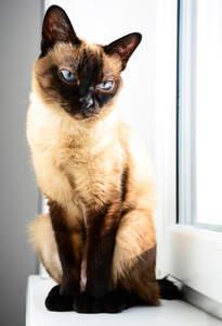A pretty pointed Thai cat