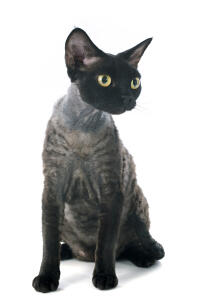 A dark haired devon rex with golden eyes