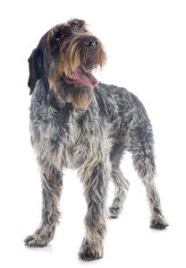 A scruffy Wire Haired Pointing Griffon with a lovely thick black and white coat